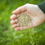 grass seeds in hand